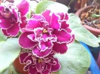 非洲蓳(非洲紫羅蘭)