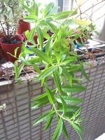 檸檬馬鞭草(防臭木)